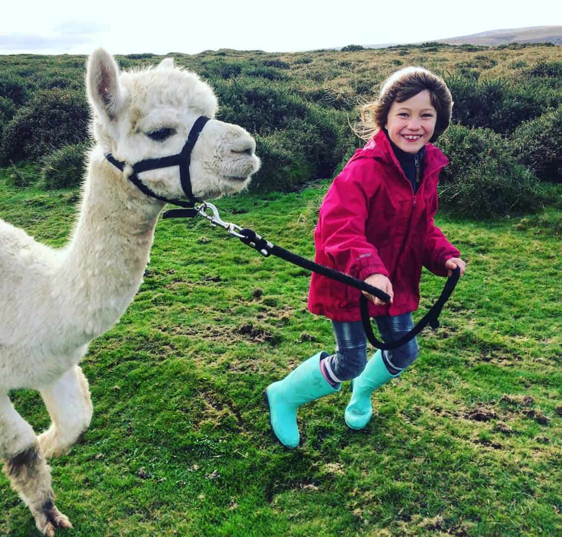 walking llamas on dartmoor