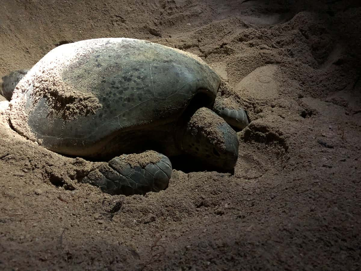 Visit Turtle Island Borneo To Watch Turtles Lay Eggs Hatchlings
